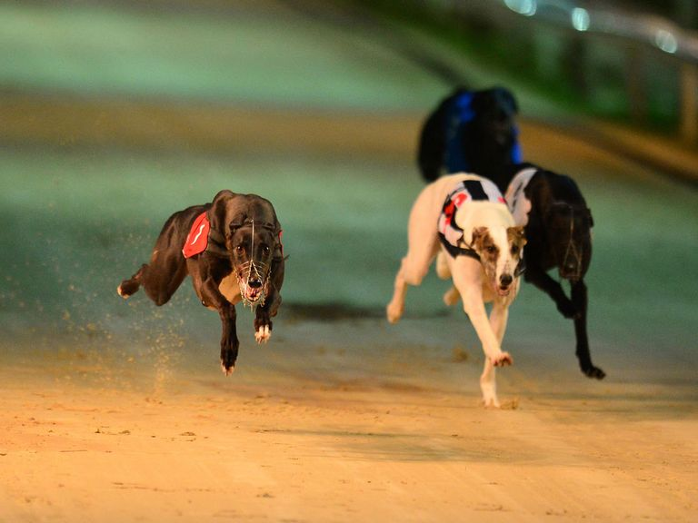 race picks live greyhound results greyhound racecards greyhound live