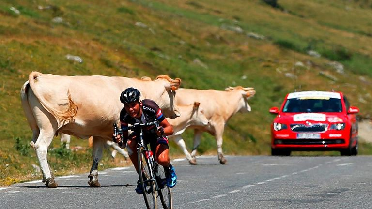 Warren Barguil had to take evasive action to avoid a herd of cows while descending the Col du Tourmalet